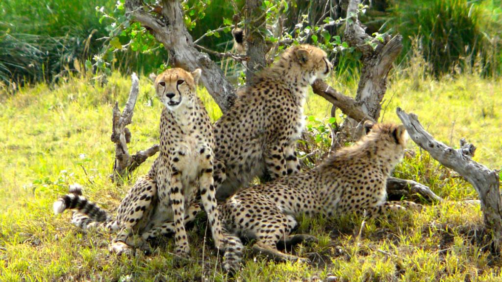 cheetahs, ngorongoro crater, tanzania, 2009