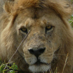 lion, masai mara, kenya, 2008