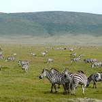 zebras, ngorongoro crater, tanzania, 2009