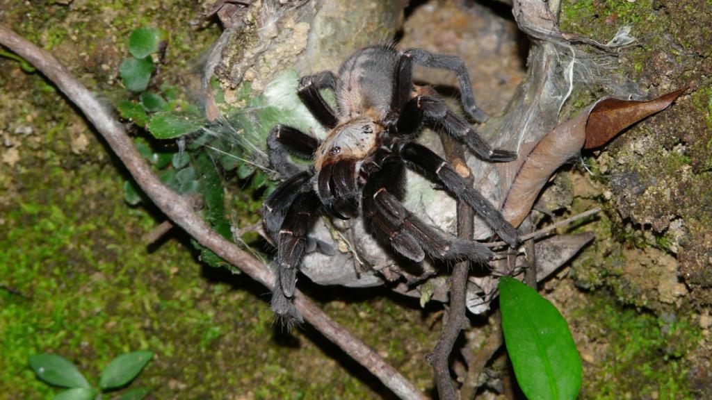 vietnamese tarantula, vietnam, 2012
