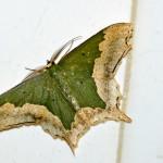 geometrid moth, thailand, 2012
