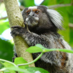 tufted ear marmoset, brazil, 2010