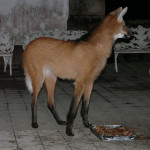 maned wolf, brazil, 2010
