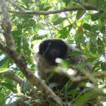 masked titi monkey, brazil, 2010