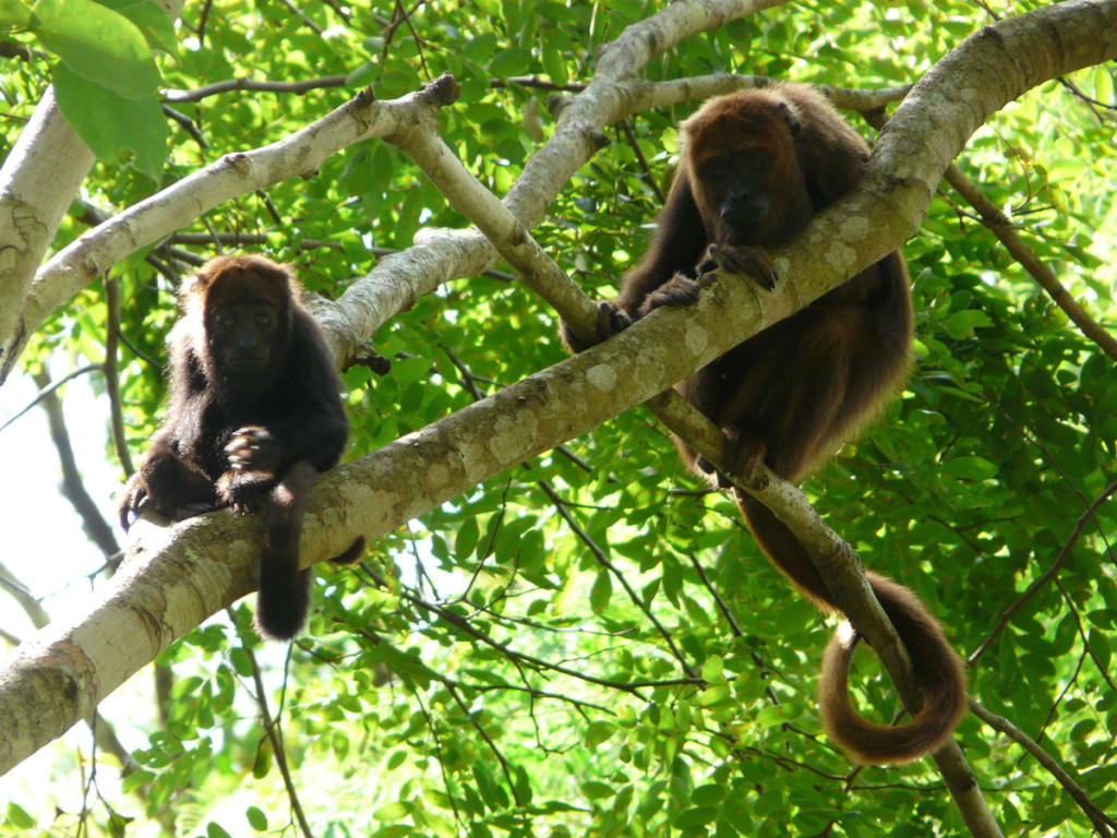 brown howler monkey, brazil, 2010