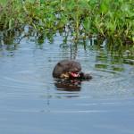 giant otter, pantanal, brazil, 2011