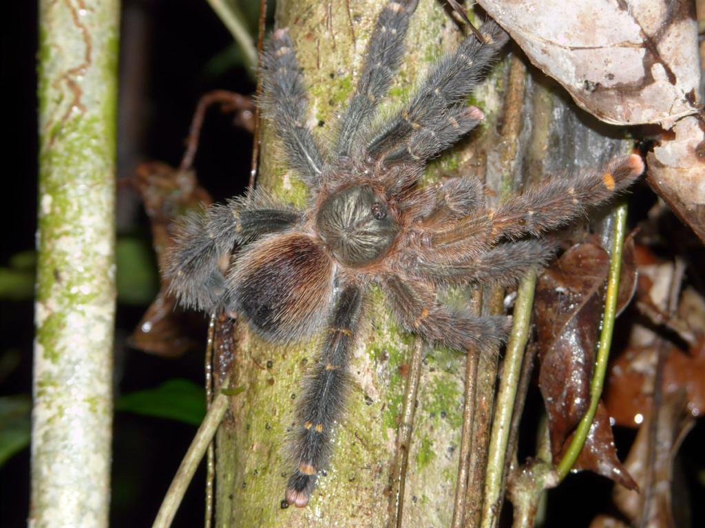 tarantula, colombia, 2013