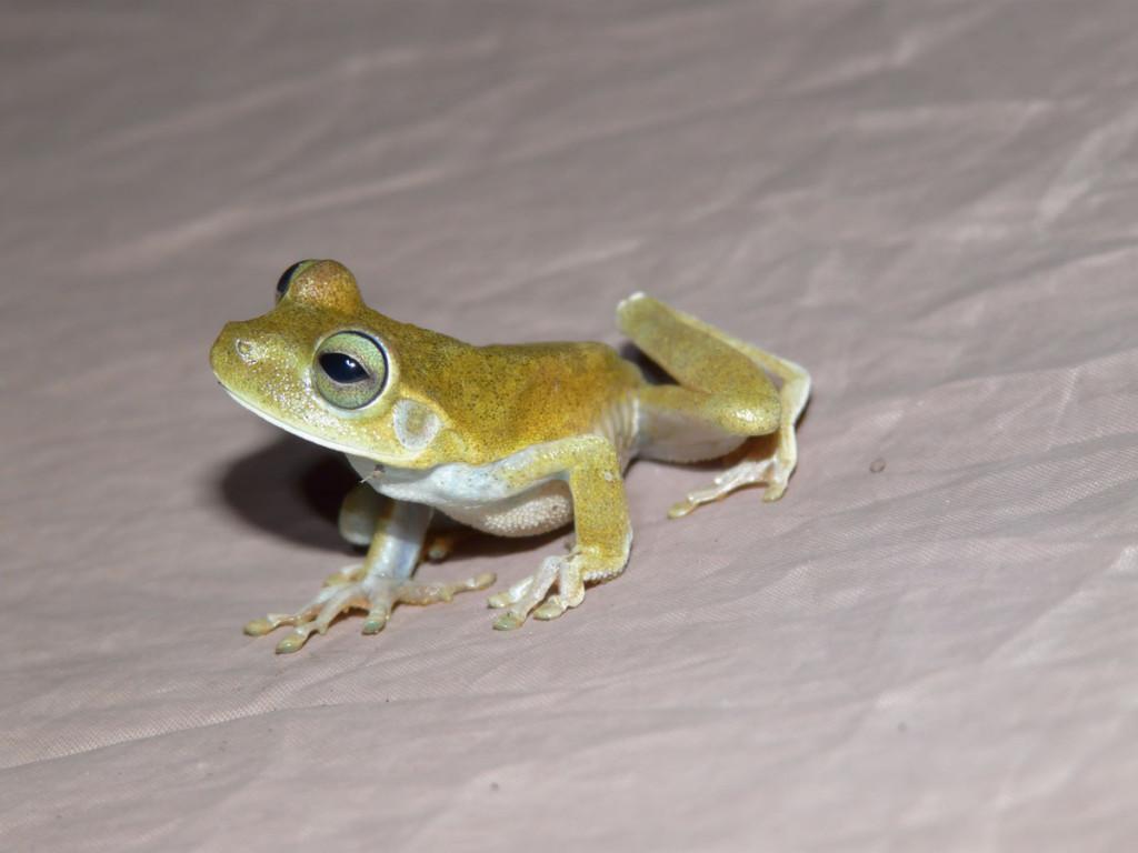 treefrog, guyana, 2011