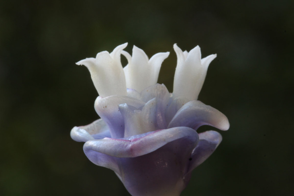 blue wax flower, dominica, 2012