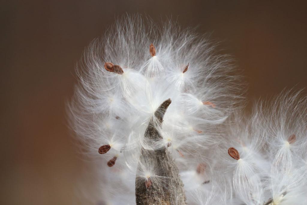 milkweed seeds, short hills provincial park