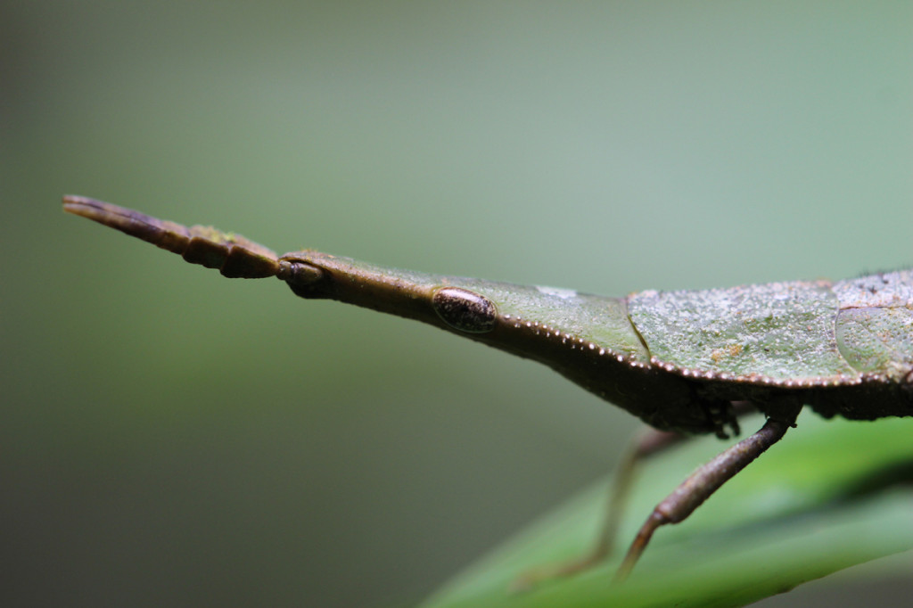 toothpick grasshopper, amazon, colombia, 2013