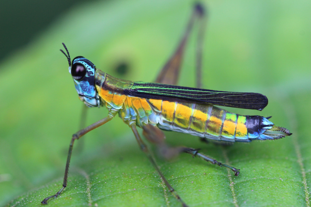 monkey grasshopper, amazon, colombia, 2013