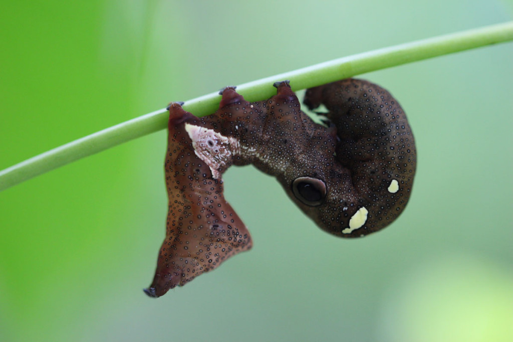 fruit piercing moth, amazon, colombia, 2013