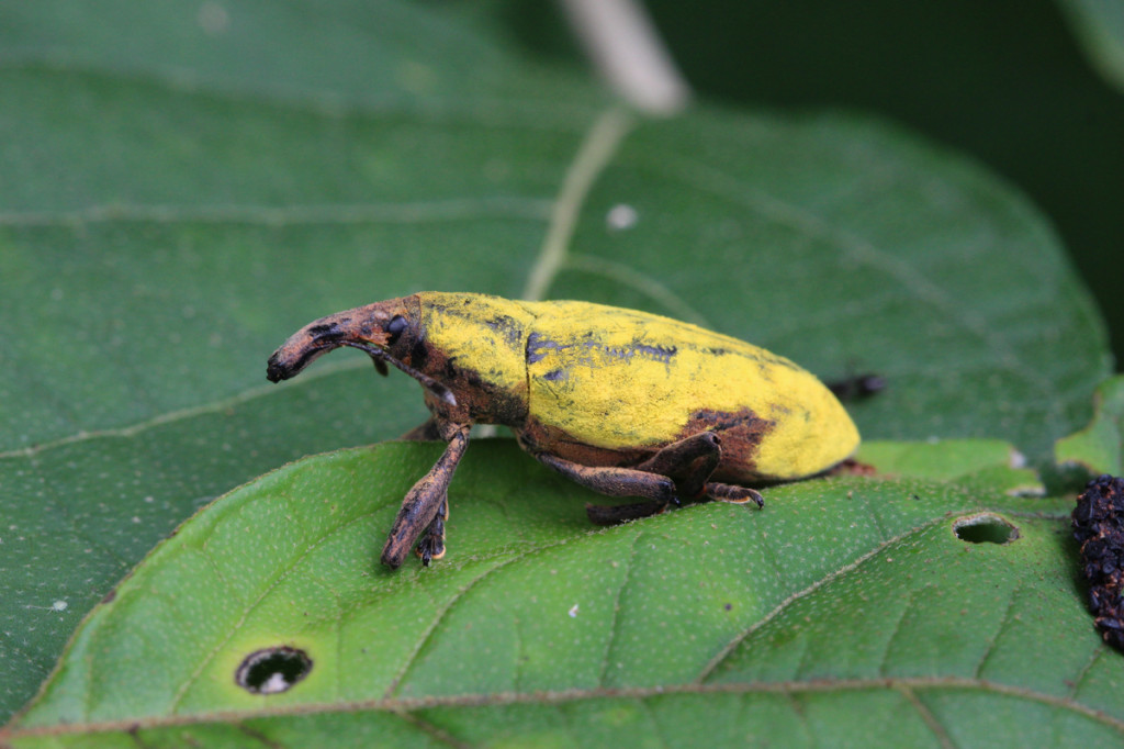 weevil, amazon, colombia, 2013