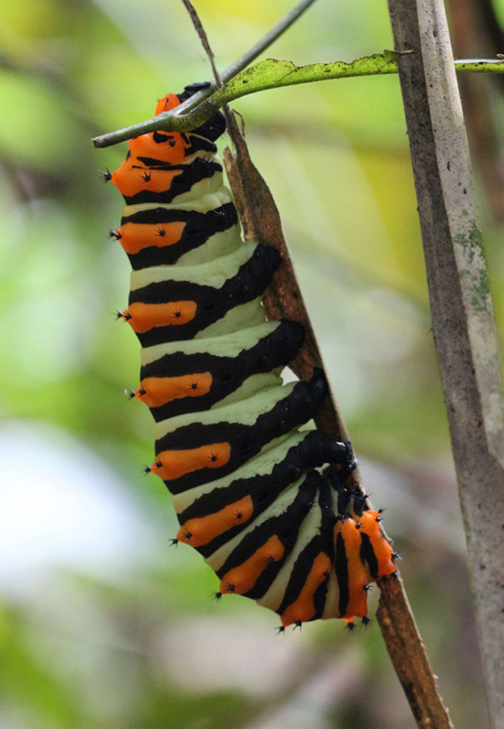 rothschild moth, amazon, colombia, 2012