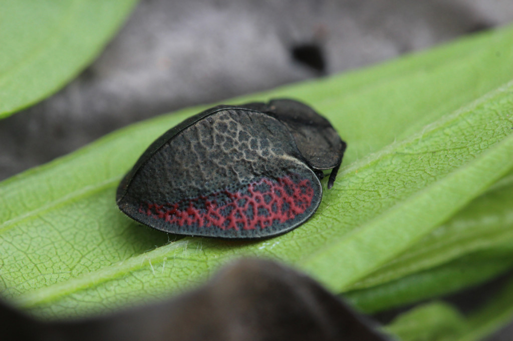 colossal tortoise beetle, amazon, colombia, 2013