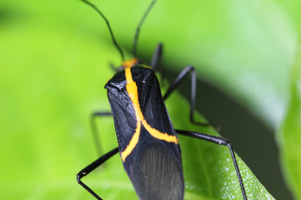 coreid bug, amazon, colombia, 2013