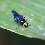 yellow headed soldierfly, amazon, colombia, 2013