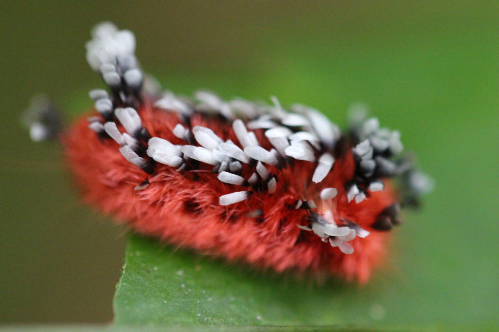 shag carpet caterpillar, amazon, colombia, 2013