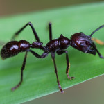 giant ant, amazon, colombia, 2013