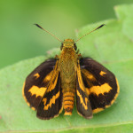 skipper butterfly, java, indonesia, 2013