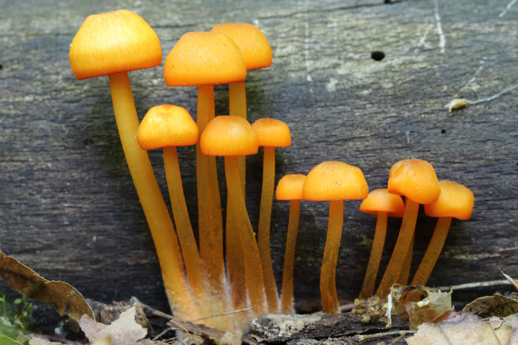 orange mycena, heartland forest