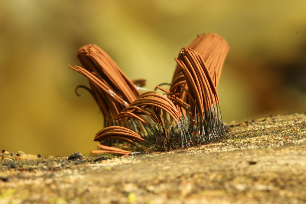 chocolate tube slime mold, heartland forest