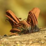chocolate tube slime mold, heartland forest