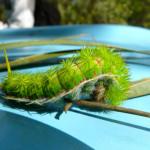 io moth, brazil, 2011