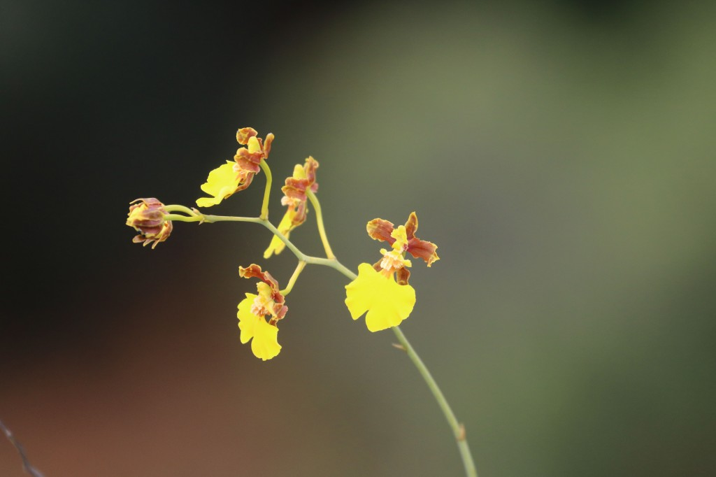 Oncidium sp